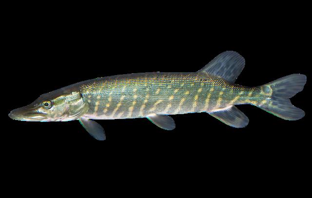 Pike Fry