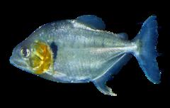Sølvpiratfisk
