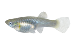 Colombiansk vildguppy
