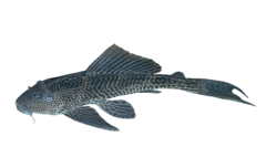 Amazon sailfin catfish