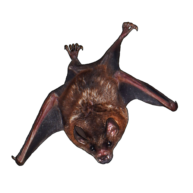 Seba's short-tailed bat (in hollow tree upstairs)