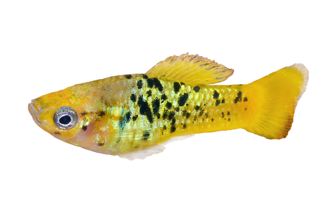 Variable platyfish