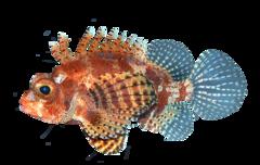 Dværgdragefisk
