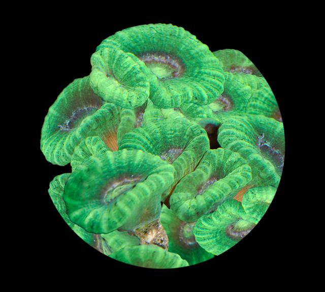 Stenkorall (Caulastrea curvata)