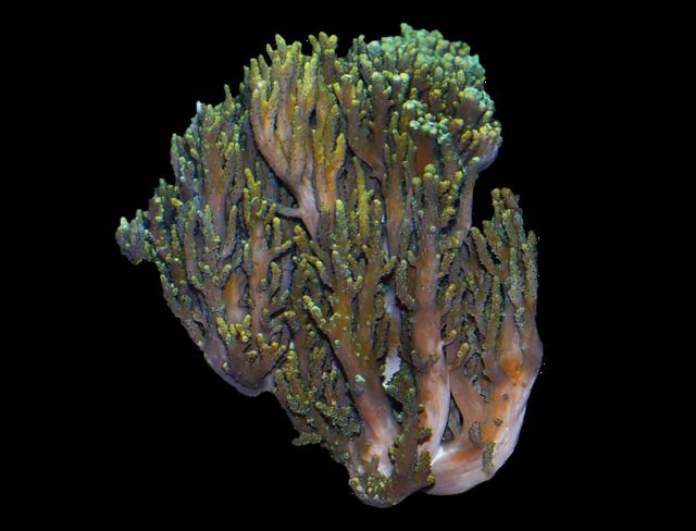 Läderkorall (Sinularia flexibilis)