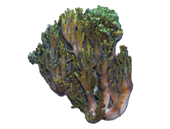 Blødkoral (Sinularia flexibilis)