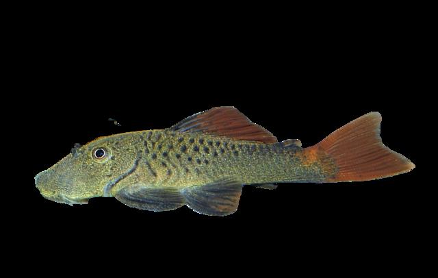 Redfin rubbernose