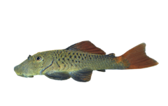 Redfin rubbernose