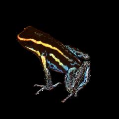 Sky blue poison dart frog