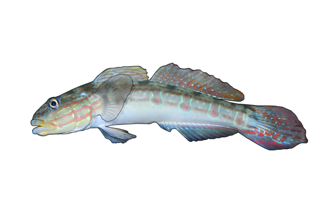 Long-finned goby