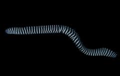 Zebramuræne