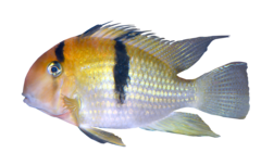 French Guiana cichlid