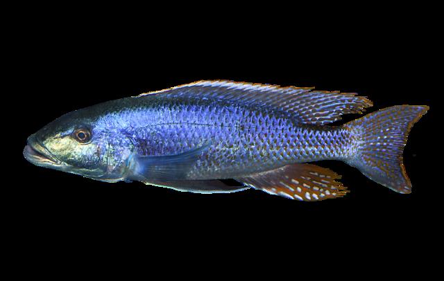Malawi trout cichlid