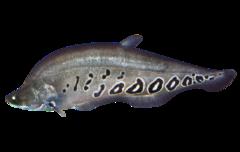 Sydøstasiatisk knivbladfisk