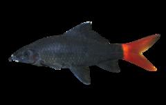 Rødhalet hajbarbe