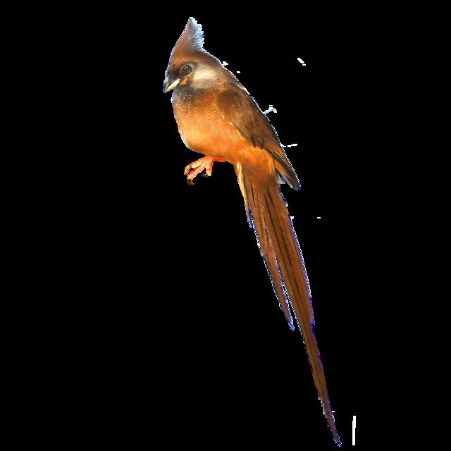 Vitkindad musfågel