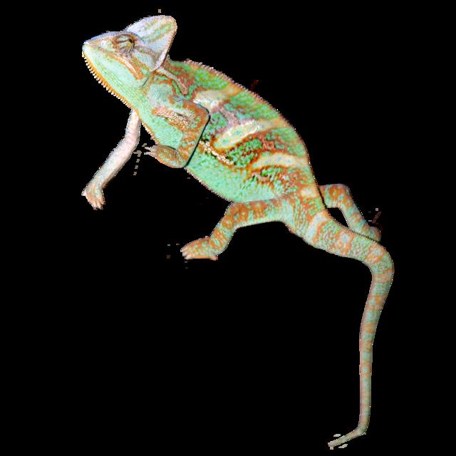 Jemenkameleont