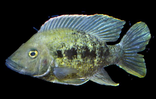 Highfin cichlid