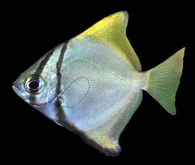 Månfisk