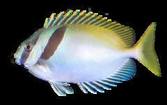 Sølvkaninfisk