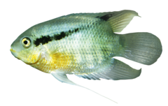 Yellowbellied flag cichlid