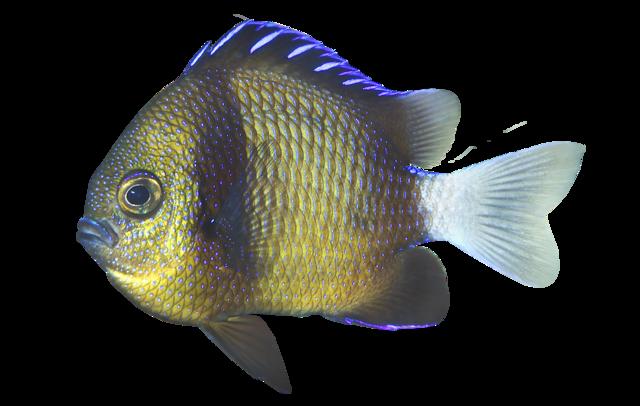 Vitsvansad frökenfisk