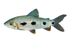Suriname leporinus