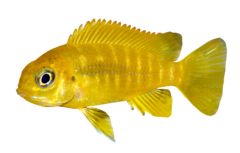 Chilumba cichlid