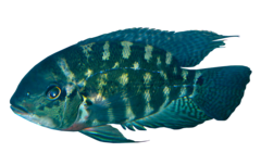Colombian Parrot Cichlid