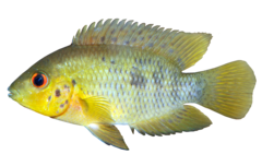 Yellow Head Cichlid