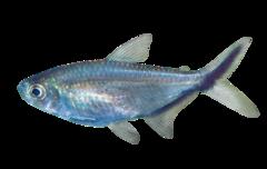 Sharkfin characin