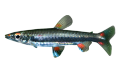 Threestripe pencilfish