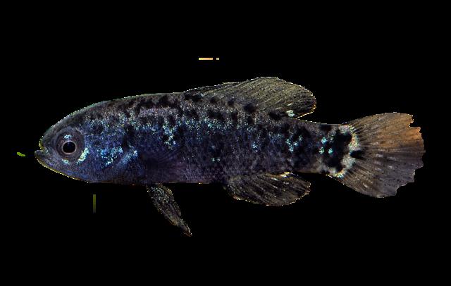 Everglades pygmy sunfish