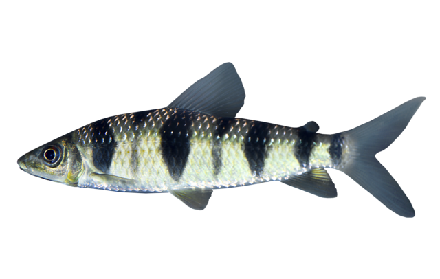 Spotted leporinus