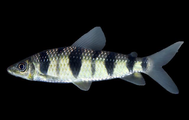 Prickig leporinus
