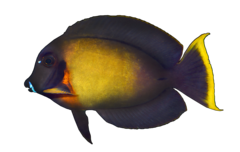 Chocolate surgeonfish