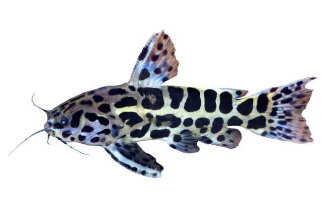 Jaguar catfish