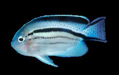 Blackstriped angelfish