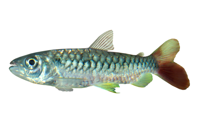 Tucan fish
