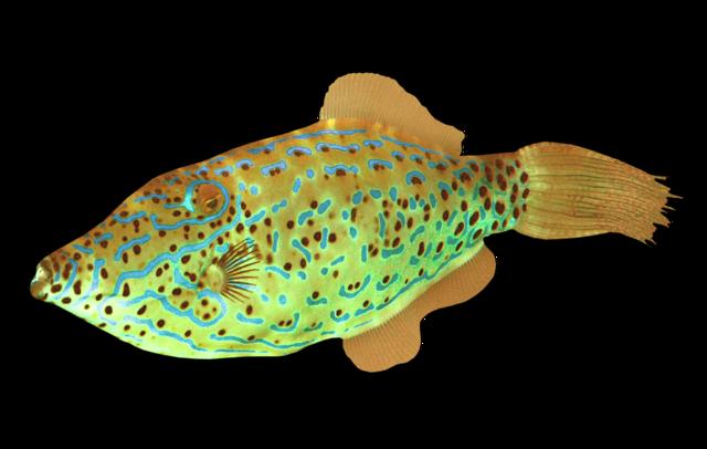 Scribbled leatherjacket filefish