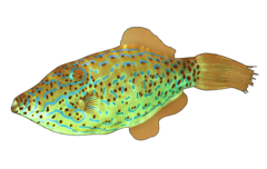 Scribbled leatherjacket filefish