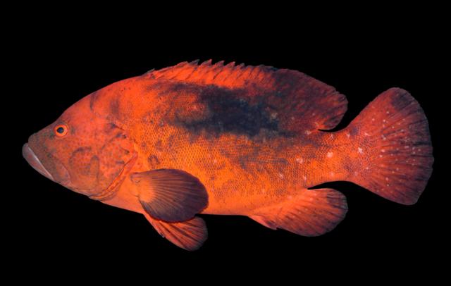 Rød koralbars