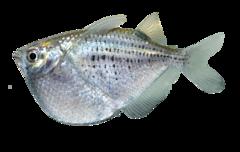 Plettet øksefisk