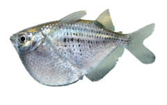 Spotted hatchetfish