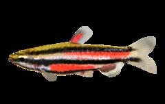 Purple pencilfish