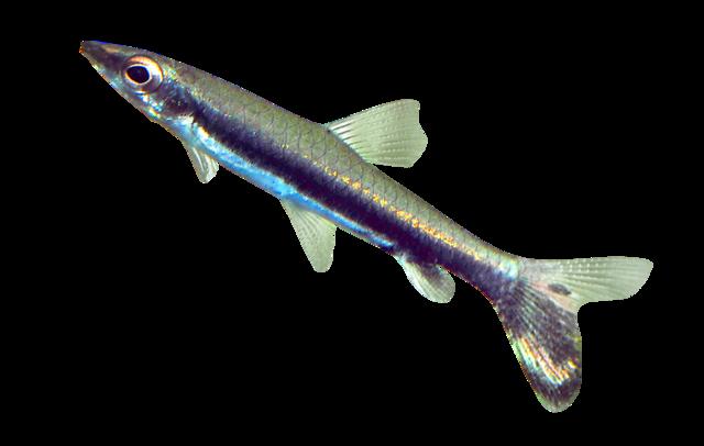 Svartbands-pennfisk