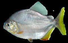 Lobetoothed piranha