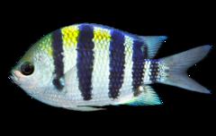 Oversergentfisk