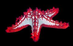 Rød knopsøstjerne