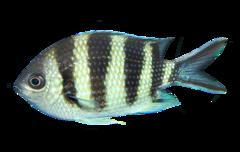 Saksehalet sergentfisk
